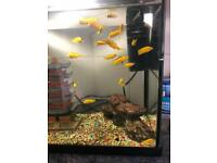 African Cichlids's yellow labs