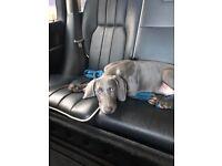 Weimararner puppy