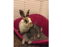 Two Bunnies / Rabbits with cage and toys
