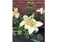 Beautiful lily plants in outdoor pots - in bloom