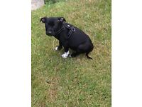 Staff cross puppy for sale/rehome