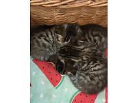 3 Tabby kittens for sale