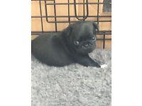 Outstanding KC reg black pug puppies