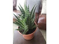 Indoor gonialoe variegata plant