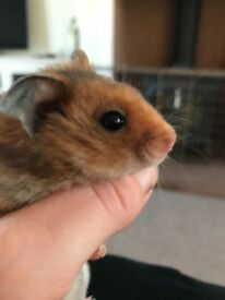 Baby Syrian Hamsters - Very Tame Handled Lots