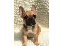 3 Adorable French bulldog puppies for sale