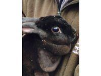 Siamese mini Rex rabbits
