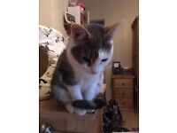 Small grey and white cat missing