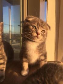 Gorgeous Siberian BSH mix kittens