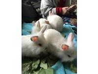 4 Beautiful, fluffy baby rabbits