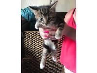 Kitten female for sale ready now £80