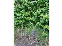 10 x privit bushes - hedging