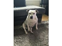 Beautiful Staffy needs a new home!