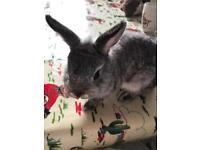 Netherland dwarf boy rabbit 3 months old