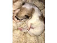 Pomeranian puppy girl
