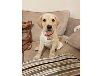 KC Labrador Puppy