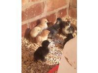 Pekin chickens