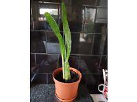 3 Separate Cactus Houseplants (flat long style)
