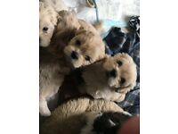 BEAUTIFUL MALSHI PUPPIES FOR SALE