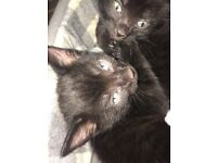 2 black kittens with green eyes