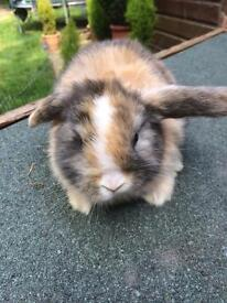 Pure mini lop