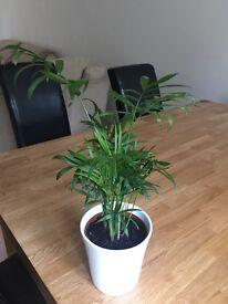 Areaca palm indoor plant