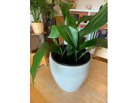 Aspidistra Plant. Mature plant in a Large Grey Ceramic Pot