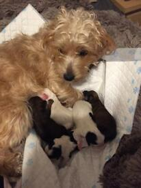 Puppy Yorcavapoos rare and desirable