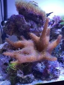 Devil's Hand Leather Coral for sale