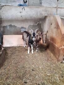 Male goats 1 year