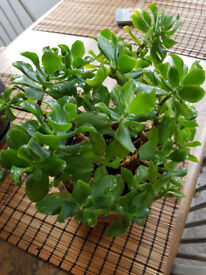 Jade plant, Money Plant, Crassula Ovata, Friendship Tree, succulent, brings good luck, houseplant