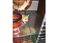Syrian hamster babies 8 weeks old ready NOW