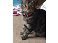 Molly female cat