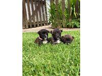 Miniature jack russell x puppies