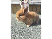 Mini Lop Bunnies 3 Boys available