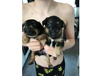 King Charles yorkie x patterdale puppies/puppy for sale