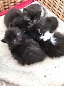 A beautiful litter of pedigree Persian kittens - all male. Stunning. GCCF registered