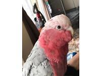 Super tame galah cockatoo for sale