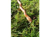Female snake with tank and heater £70 0n0