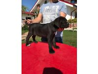 Pedigree Puppies For Sale Cane Corso