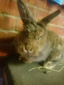 Lovely Lion X Lop Buck/Boy Pet Rabbit