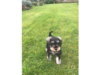 Mini schnauzer pup for sale.