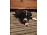Staffie Puppies For Sale - Boys only