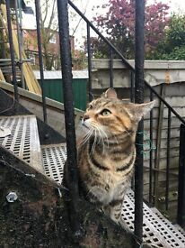 FOUND brown shorthair tabby with orange splotches (earlsfield)