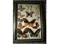 Framed 13 Real Butterflies Taxidermy Vintage Insects Collection Set