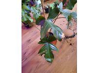 Florida pedatum plant