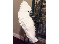 Tamed taking friendly Umbrella cockatoo with large cage