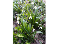 40 Galanthus woronowii Fresh Plants, Unusual and Rare Snowdrop, 40 Fresh Woronow's snowdrop