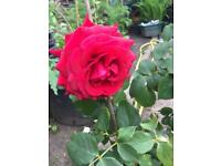 Upright Red Rose plant