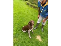 German short haired pointer bitch for sale